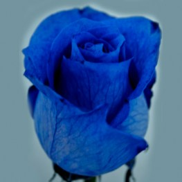 blue_dyed_rose
